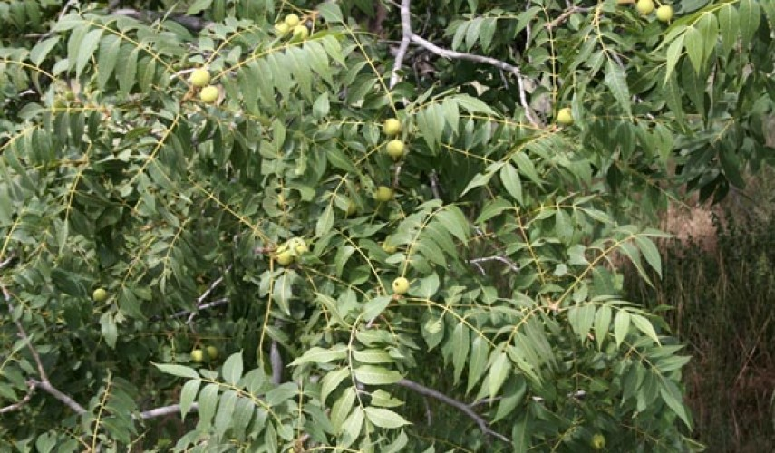 выращивание маньчжурского ореха