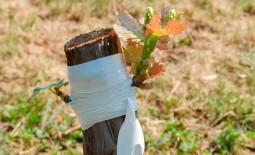 Техника прививки винограда: описание, сроки, советы