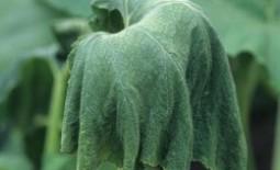 Что делать, если вянут листья огурцов в теплице?