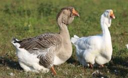 Холмогорские гуси – тяжеловесы-долгожители. Внешний вид, характер, особенности содержания и разведения