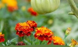 10 растений, которые лучше растут с компаньонами