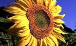 Уход за подсолнечником: гербициды, фунгициды и другие удобрения