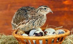 Как увеличить перепелиное поголовье на домашней ферме: особенности инкубации пестрых яиц