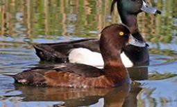 Виды нырковой утки чернеть — хохлатая и морская. Сходство и различия