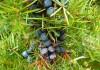 Выращивание можжевельника