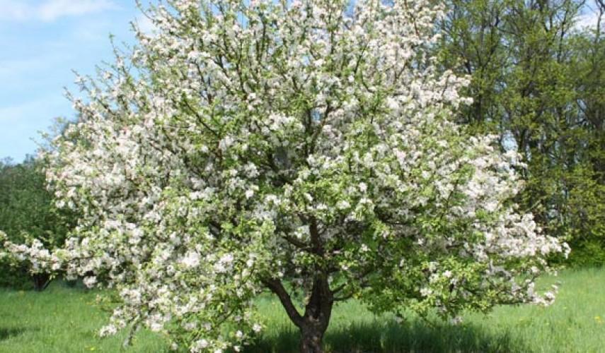 Сорт яблони Китайка
