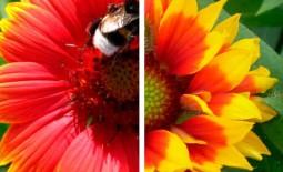 Гайлардия многолетняя: выращивание, посадка, уход и размножение