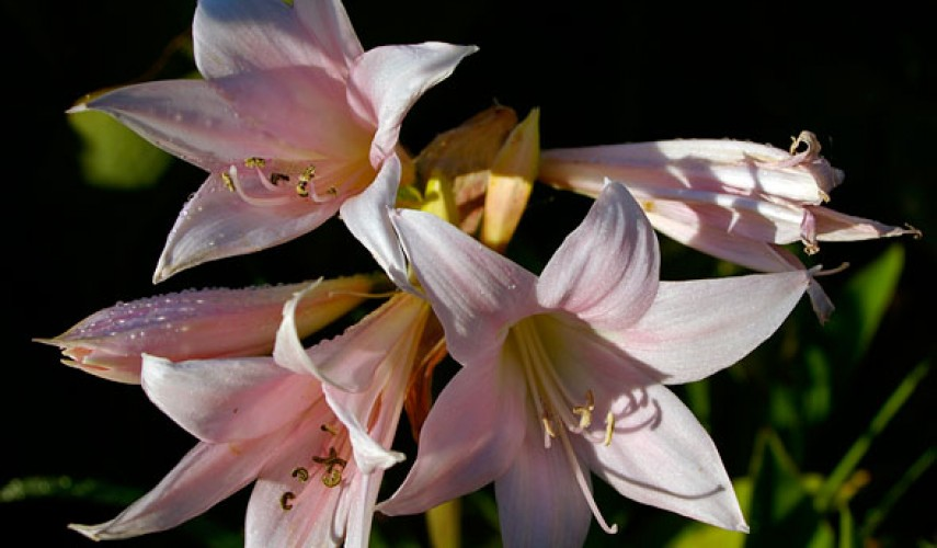 Выращивание амариллиса в саду