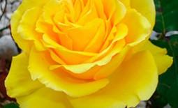 Желтые розы – яркие солнышки в саду