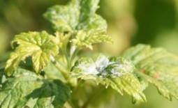 Эффективные меры борьбы с мучнистой росой на смородине