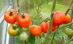 Ураган F1: ранний томат с мощным урожаем. Описание и рекомендации по выращиванию