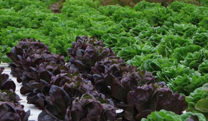 бизнес по выращиванию зелени