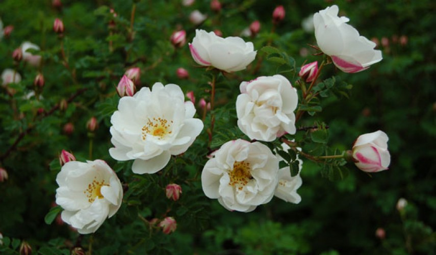 посадка парковой розы