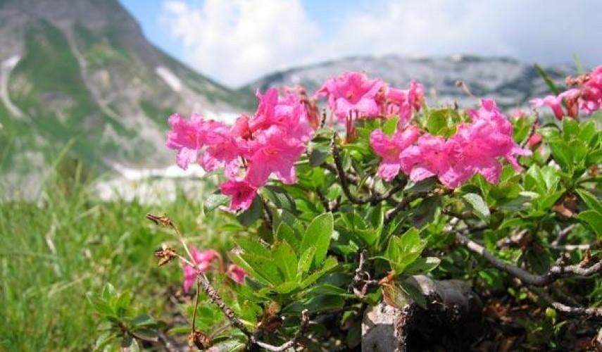 выращивание рододендрона