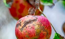 Парша яблони и груши: как побороть грибок без химии.  Парша — бич садовода: Как побороть без химии