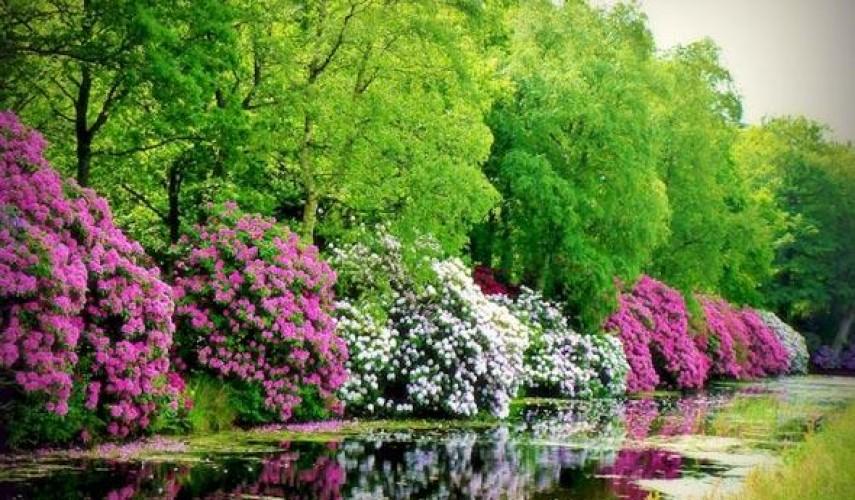 Рододендрон: посадка и уход в открытом грунте, фото, сорта ...
