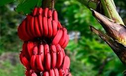 Польза красных бананов. Способы приготовления экзотических плодов