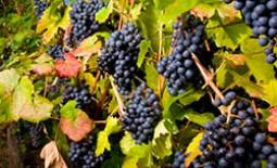 Подкормки для винограда: какие удобрения нужно вносить весной