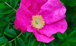 Роза морщинистая — простушка в шикарном обличье