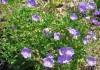 выращивание колокольчика карпатского