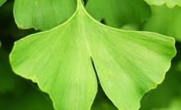 Гинкго билоба: удивительные лечебные свойства растения