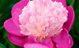 Пион травянистый: лучшие сорта для вашего цветника. Описание разновидностей с фото