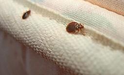 Что делать, если клопы появились в доме: описание насекомых, обнаружение и борьба с ними