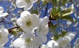 Чем опрыскать вишню во время цветения