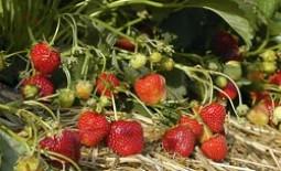 Сидераты для клубники: подходящие растения и способ их выращивания