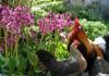 выращивание бадана