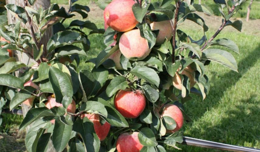 выращивание колоновидной яблони