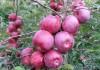Яблоня сорта флорина