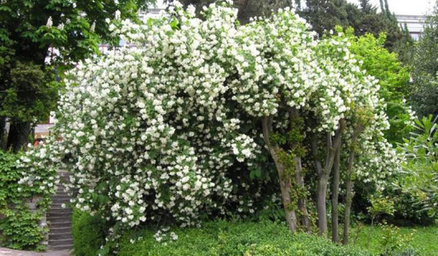 выращивание чубушника