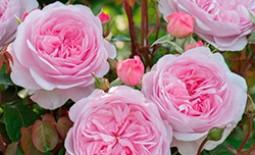 Изысканная прелесть сортов пионовидных роз