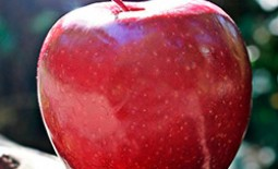 15 лучших сортов яблонь для средней полосы и Подмосковья: Описания с учётом сезонности