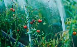 Вянут помидоры в теплице: как спасти урожай