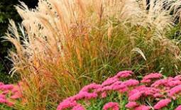 Декоративные злаки в ландшафтном дизайне: сорта и их использование