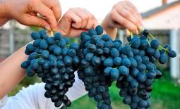 Виноград поздний — Молдова. Внешние признаки, достоинства, минусы, рекомендации по культивированию