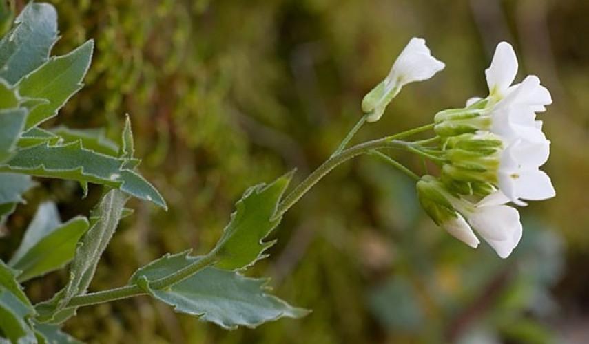 выращивание арабиса
