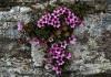 выращивание камнеломки