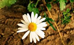 Нивяник – садовый интеллигент