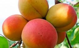 Абрикос под названием фаворит – любимец садоводов средней полосы