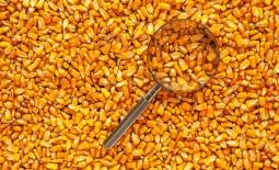 Кукурузные отруби: состав, польза, отрицательное влияние, правила приема