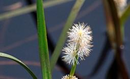 Характеристики видов ежеголовника. Особенности ухода за декоративным водяным растением
