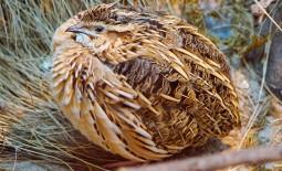 Как заниматься разведением разных пород перепелов. Особенности содержания птицы в домашних условиях