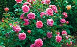 Кустарниковая роза Принцесса Александра оф Кент — характеристика, уход