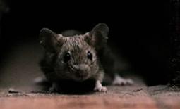 Как смастерить в домашних условиях отпугиватель мышей