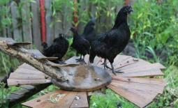 Энциклопедия черных кур: обзор самых популярных пород