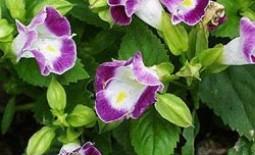 Торения — «На окне и в саду»: посадка и выращивание из семян