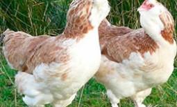 Фавероль — описание и особенности породы кур, отзывы птицеводов